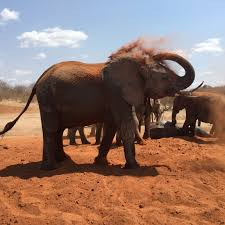 elephant cooperation awareness of the plight of the african