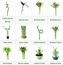 lucky bamboo ewaterplant resource of aquatic plant and