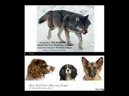 how did wolves become dogs