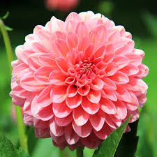 pink flower pink flower 151 types of flowers images and growing tips care