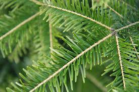 pine needles free stock photo green spruce tree branch with