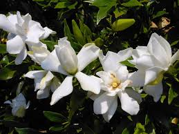 amazon com dwarf jasmine gardenia bush 5 seeds fragrant