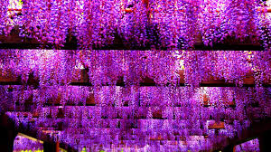 flowers wisteria spring flowers plants photo gallery for hd 16 9