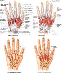 Apologia Human Anatomy And Physiology 10 5 A Muscle U0027s Origin And Insertion Determine Its Action Human