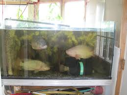 Backyard Fish Farming Tilapia Tilapia Tilapia Fish Farm For Sale