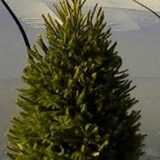 potted christmas tree the original potted christmas tree company christmas trees