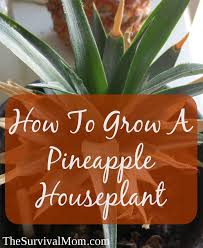 Miracle Grow Patio by How To Grow A Houseplant From The Top Of A Pineapple Survival Mom