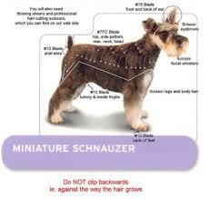 mini schnauzer haircut styles 89 best dog grooming images on pinterest dog grooming styles