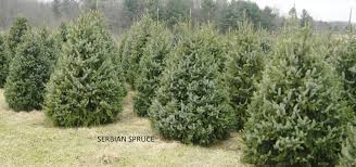 b u0026b evergreens trees from pennsylvania new york and indiana