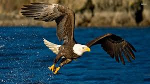 stellers sea eagle wallpapers magnificent free eagle wallpaper collections naldz graphics hd