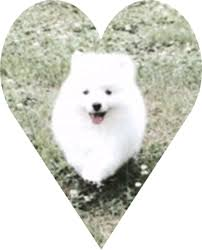 american eskimo dog breeders new york toy american eskimo dogs and puppies for sale