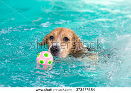 young beagle dog swimming pool stock photo 394345471 shutterstock