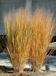 100 best ornamental grasses images on ornamental