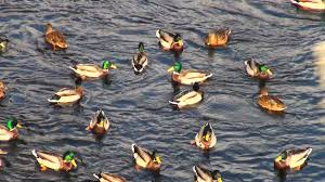 ducks on water a flock of ducks swimming in the lake stock video