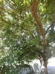 pruning paul u0027s himalayan musk sheretired