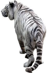 white tiger back transparent png stickpng