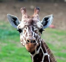 giraffe head google search bird box pinterest giraffe