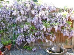 wisteria hysteria chooks and roots