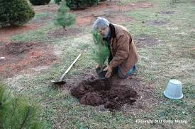 planting scotch pine seedling wolgast tree farm somerset nj jpg