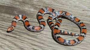 snakes of louisiana louisiana department of wildlife and fisheries