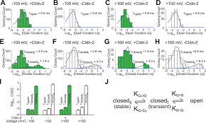 claudin 2 dependent paracellular channels are dynamically gated