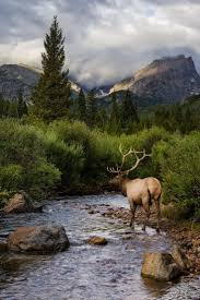 75 best moose elk and other deer images on pinterest national