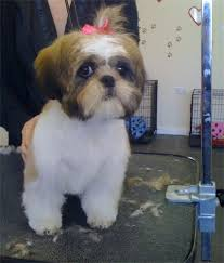 shih tzu haircuts michelle s puppy love gallery