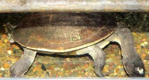 New Guinea snake-necked turtle