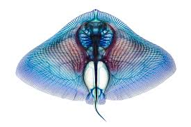 amazing pictures of see through fish u2013 national geographic society