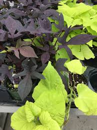 interesting trailing vines and accent plants u2013 larson u0027s garden center
