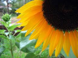 black oil sunflower seeds for horses