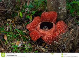 rafflesia the biggest flower in the world this species located