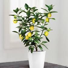 mini lemon tree 25 cm 1 tree buy order yours now