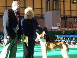 boxer dog crufts 2015 56 best crufts images on pinterest dog show animals and big dogs
