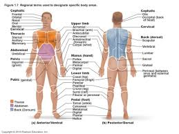 Human Anatomy Worksheet Hypochondriac Lumber Iliac Epigastric Umbilical Gastric