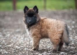 belgian shepherd x greyhound best 25 belgian shepherd puppies ideas on pinterest belgian
