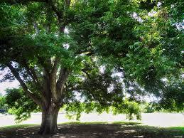 austin heritage oak tree free summer photos of austin