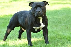 american pitbull terrier qualities top police dog breeds that really deserve a salute