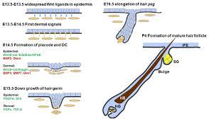ijms free full text epidermal development in mammals key