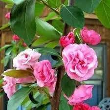 buy radiant flowering crabapple tree radiant flowering crabapple