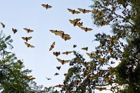 migrating bat colonies wreak havoc in northern nsw the saturday
