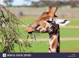 giraffe reaching high to eat leaves stock photo royalty free