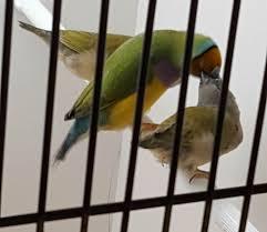 vital l full spectrum light for birds part 4 gouldian finch breeding planet aviary