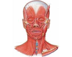 Interactive Muscle Anatomy Muscles Of The Head Neck U0026 Face