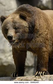 grizzly claws claws stock photos claws stock images alamy
