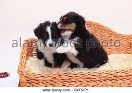 australian shepherd 5 wochen two australian shepherd puppies playing stock photos u0026 two