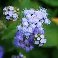 purple and blue flowers purple and blue hawaiian flowers hawaiian plants and tropical