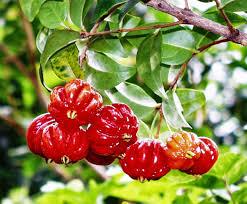 native brazilian plants tasting hawai u0027i with moloka u0027i chef james temple surinam cherries
