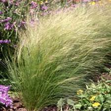 mexican feather grass seed stipa tenuissima ornamental grass