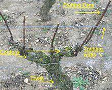 Grape Vine Pergola by Vine Training Wikipedia
